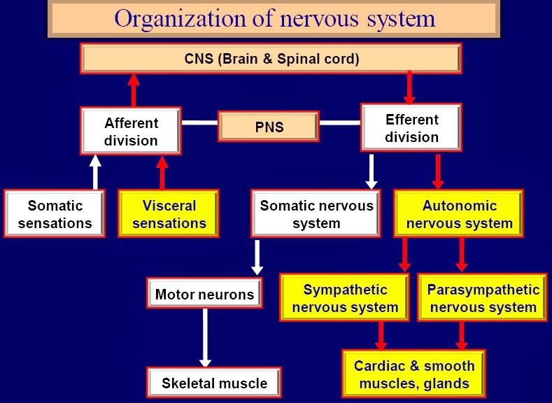 b) the peripheral nervous system, PNS, consisting of nerves, which connect the receptors to the CNS and the CNS to the effectors.