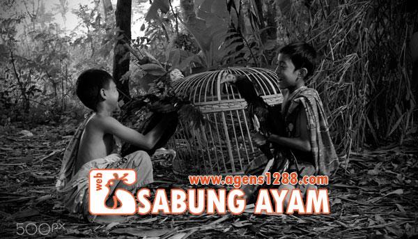 Hasil Pertandingan Arena BC2 Sabung Ayam S1228.net 11 November 2015