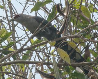 Green-billed Malkoha (Phaenicophaeus tristis)