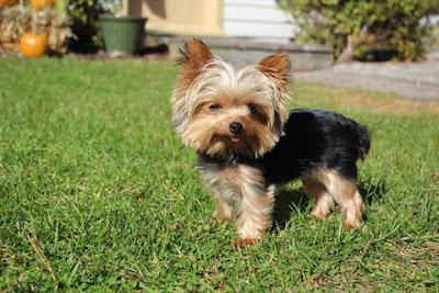 World's Smallest Working Dog