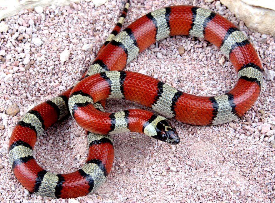 Milk Snake   Snakes