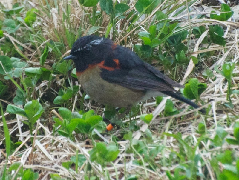 Johnstone's Robin (Tarsiger johnstoniae)