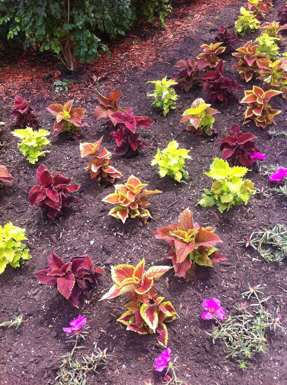 ... Rustic Shades Of Coleus. A Single Flat Would Typically End Up Framing  The Barbeque, Far Away From The Perennial Border Beds. Heu0027d Plant The Whole  Garden ...