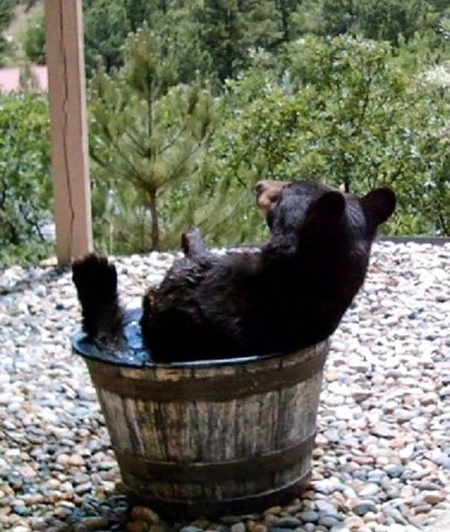 Family set up a camera to found out why their water kept going missing. This is what it caught... (6 pics), bear takes a bath on a barrel, bear cooling down in barrel full of water