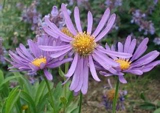 Manfaat dan Khasiat Bunga Aster Untuk Kesehatan