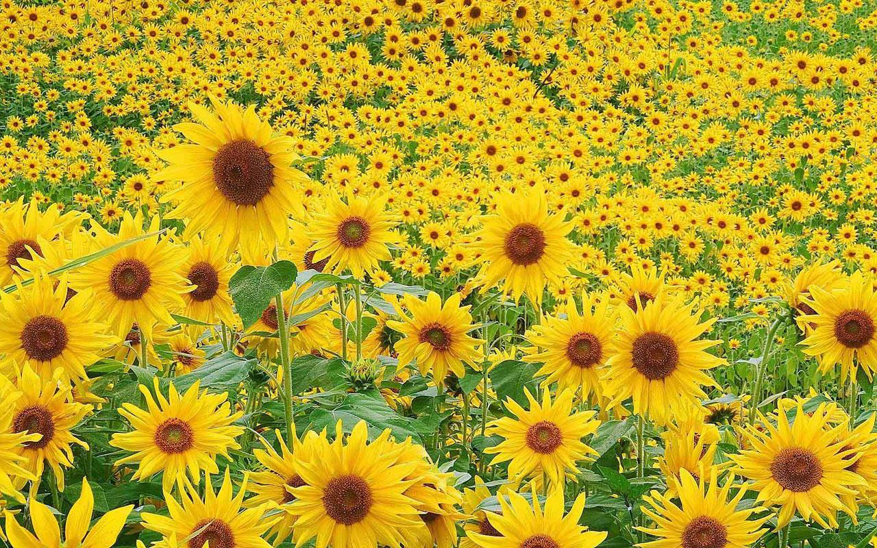 Wallpaper Sunflowers Desktop Wallpapers
