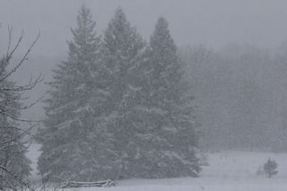 photos of pines in snow storm