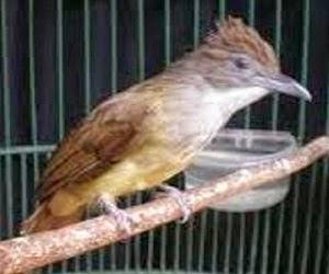 Burung Cucak Jenggot : Ketahui Keunggulan Dan Kelemahan Burung Cucak Jenggot Sebelum Membelinya