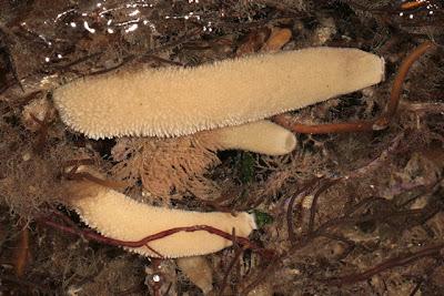 Syicon ciliatum