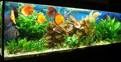 aquarium avec discus Aquamio vente de produits pour aquarium