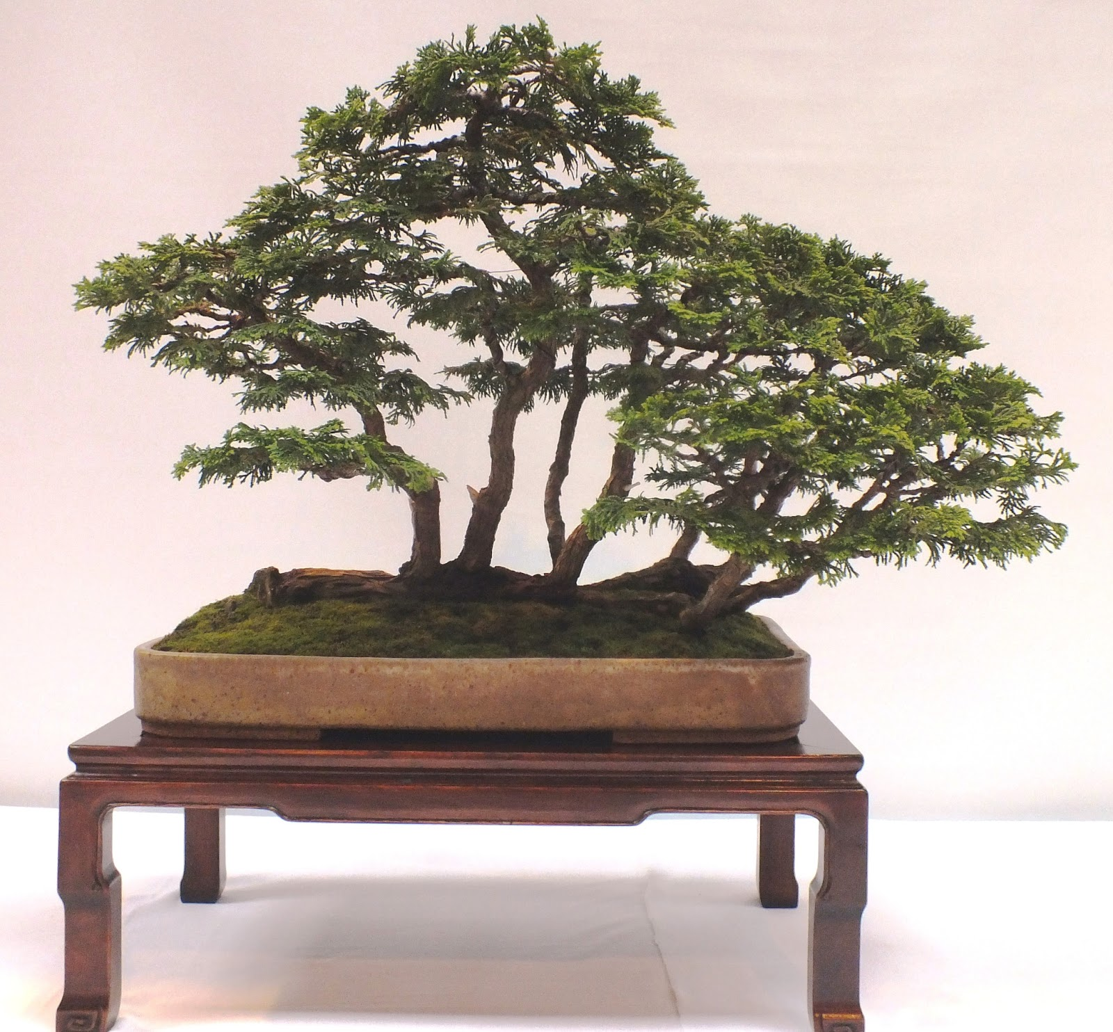 Steve Tolley39s Bonsai And Suiseki Blog BOBB 2013