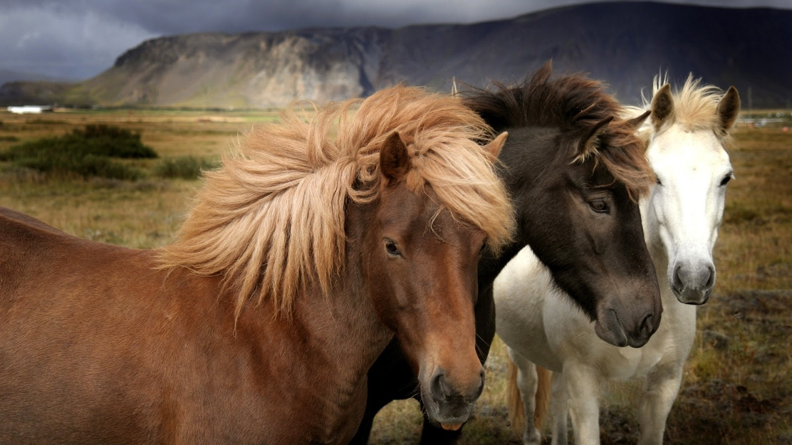 Great   Wallpaper Horse Rose - wild+horses+wallpapers+32  Trends_701330.jpg