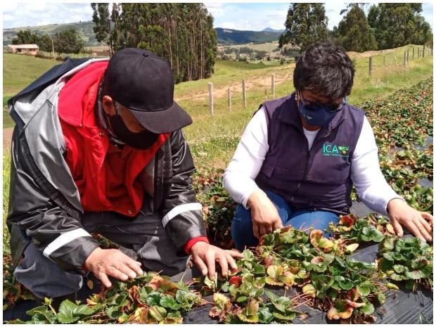 En Boyacá, el ICA hace vigilancia en plagas de control oficial en cultivos de fresa