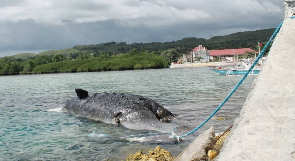 Sperm whale floating dead near baclayon bohol the for Jardin necitas
