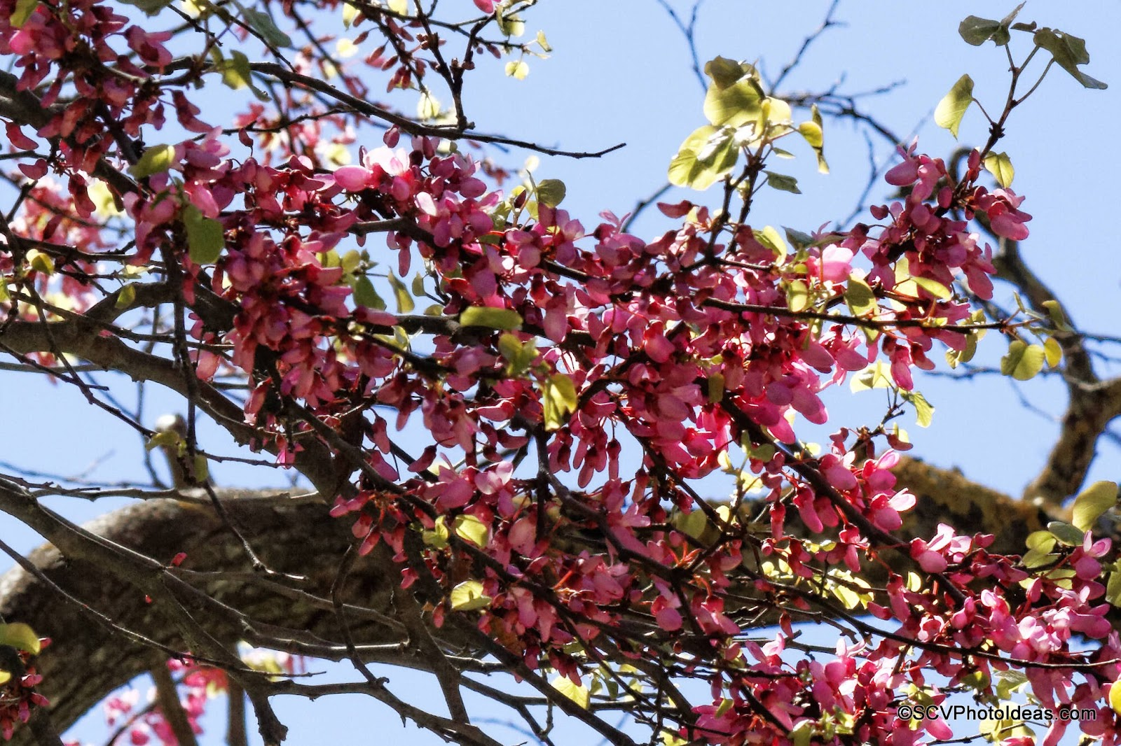 Blossoming Almond Tree branch closeup