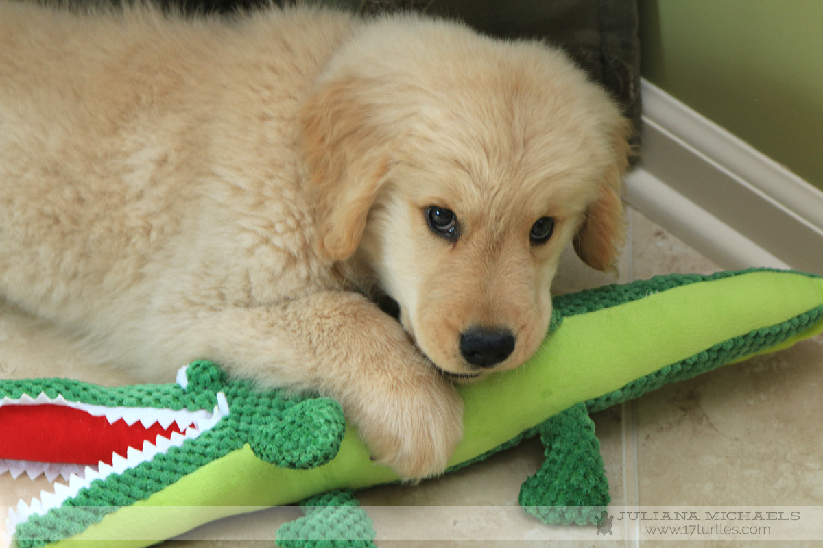 Lincoln Golden Retriever 10 Weeks Old and Mr. Gator