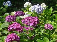 古くからアジサイの名所として知られ約30種約4500株が美しい花を咲かせている。