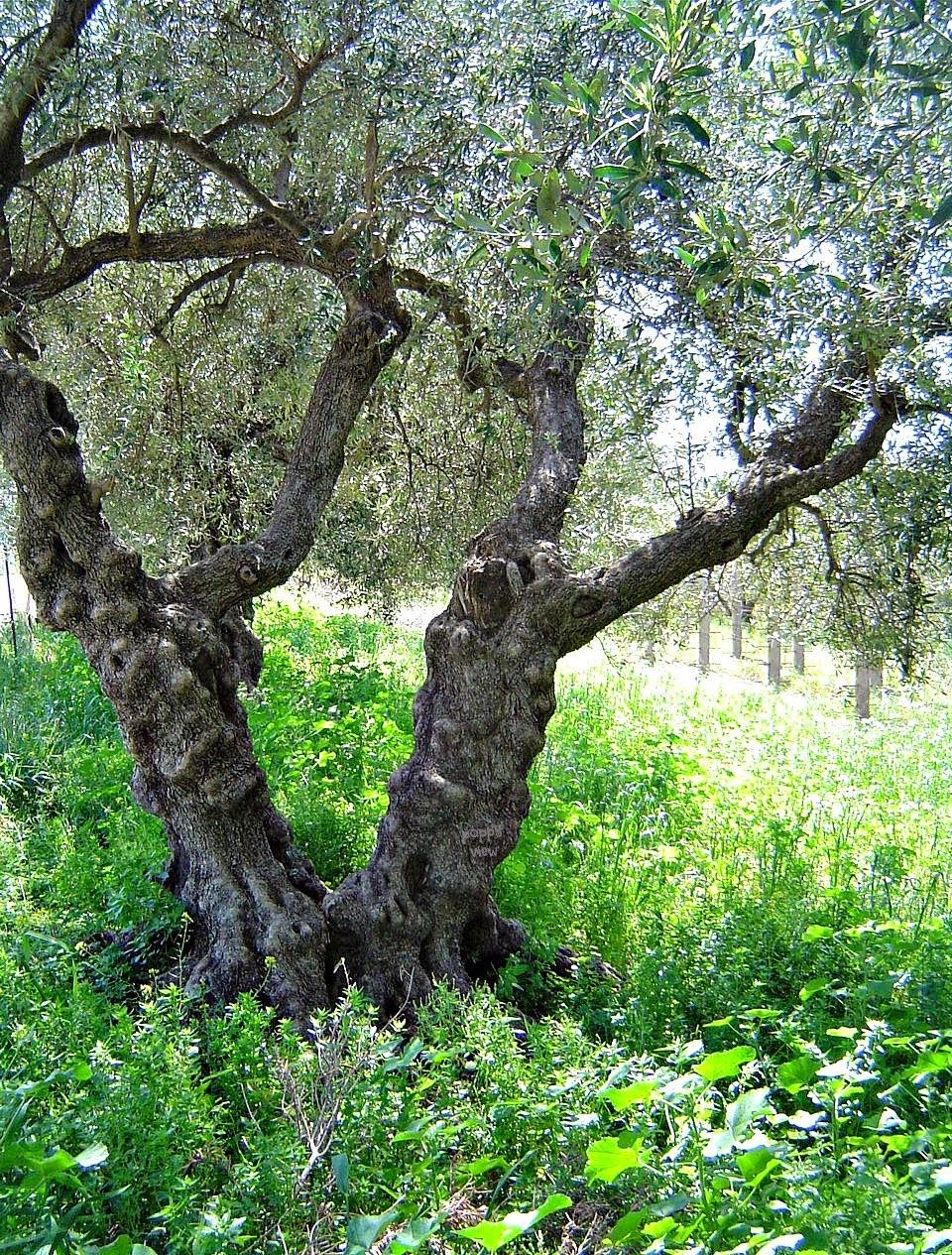 Olive Tree Oasis