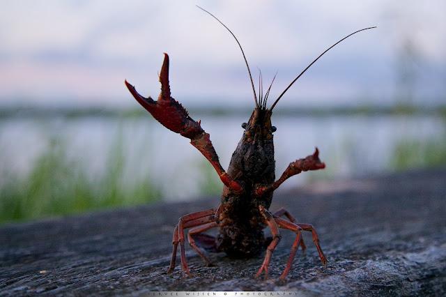 Amerikaanse Rivierkreeft - Louisiana Crayfish - Procambarus clarkii