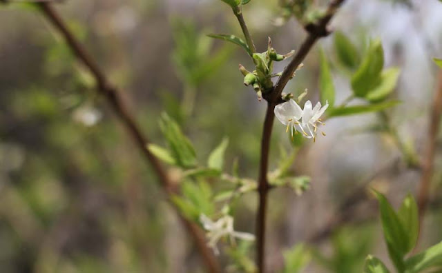 Lonicera Fragrantissima Flowers