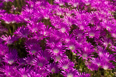 Round-leaved Pigface (Disphyma crassifolium)