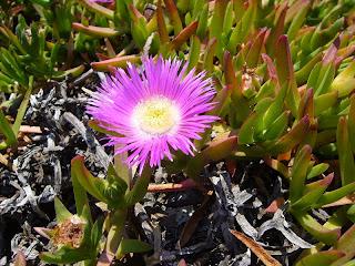 flor de higo de los hotentotes