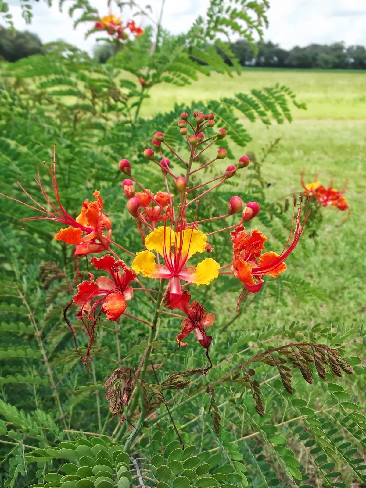 Dotty Plants Greenhouse Journal Alternanthera As