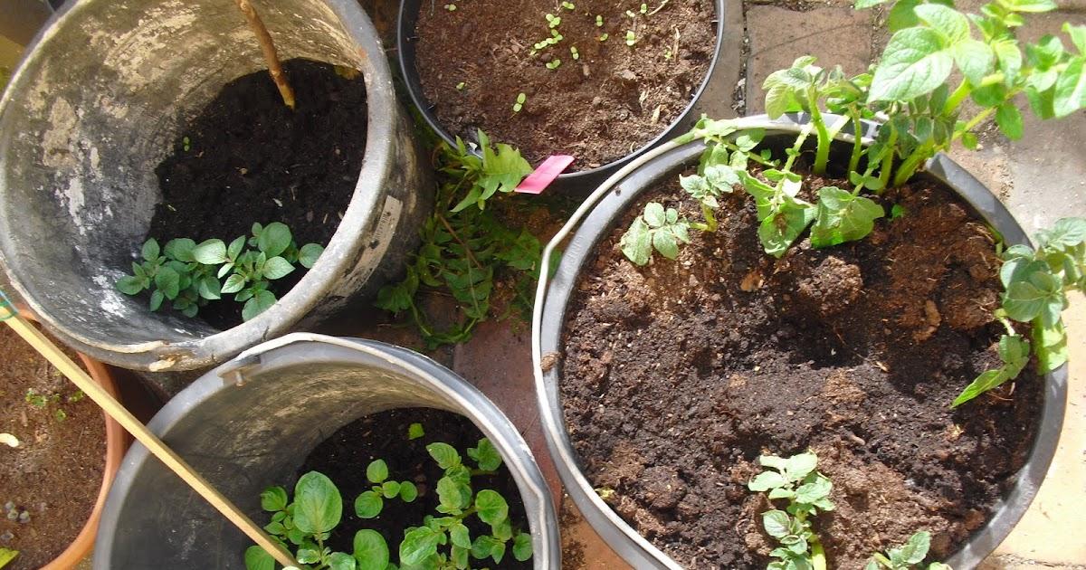 mauerblumen kartoffeln im eimer anbauen. Black Bedroom Furniture Sets. Home Design Ideas