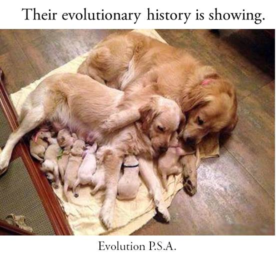 evolution of dogs essay The origin of the domestic dog is not clear the domestic dog is a member of the genus canis dog evolution dog evolution (from the latin evolutio.