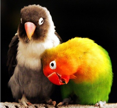 tips cara ternak burung labet lovebird freewaremini