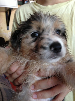 Australian Shepherd - puppy male Blue Merle