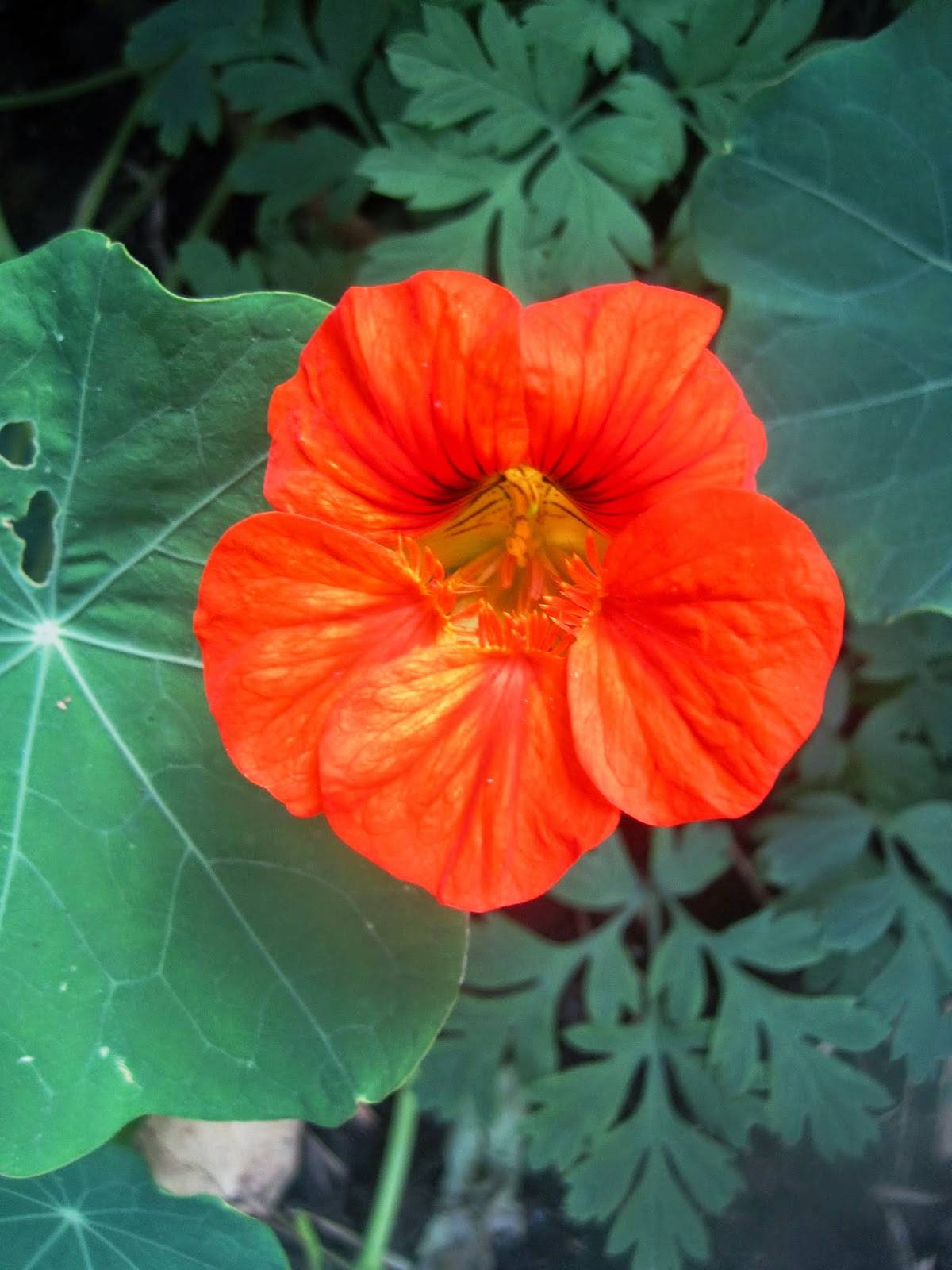 Tomato marmande agm seeds d t brown vegetable seeds - Glorious Painterly Nasturtium Flowers All On The Same Plant