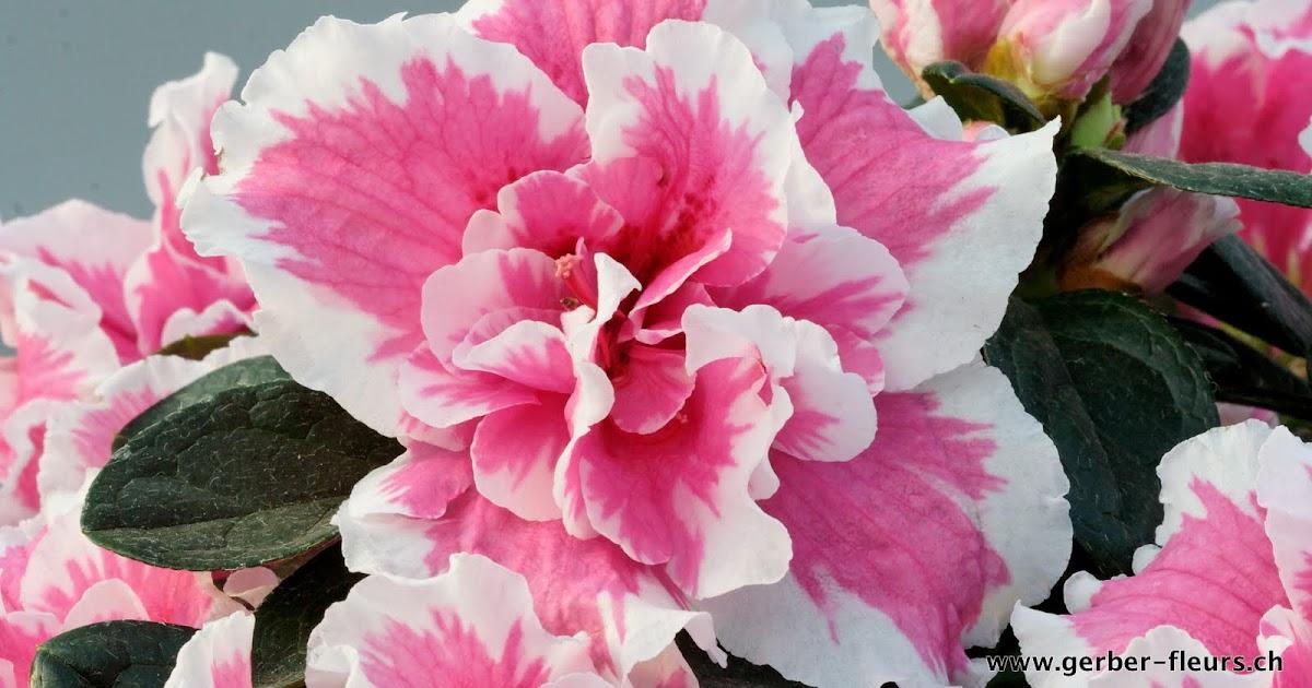 Gerber fleurs sa azal e for Azalee interieur entretien