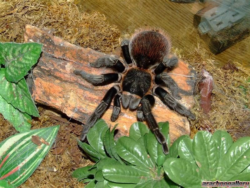 Diary Mad Pet Enthusiast Species The Day Costa Rican Red Tarantula