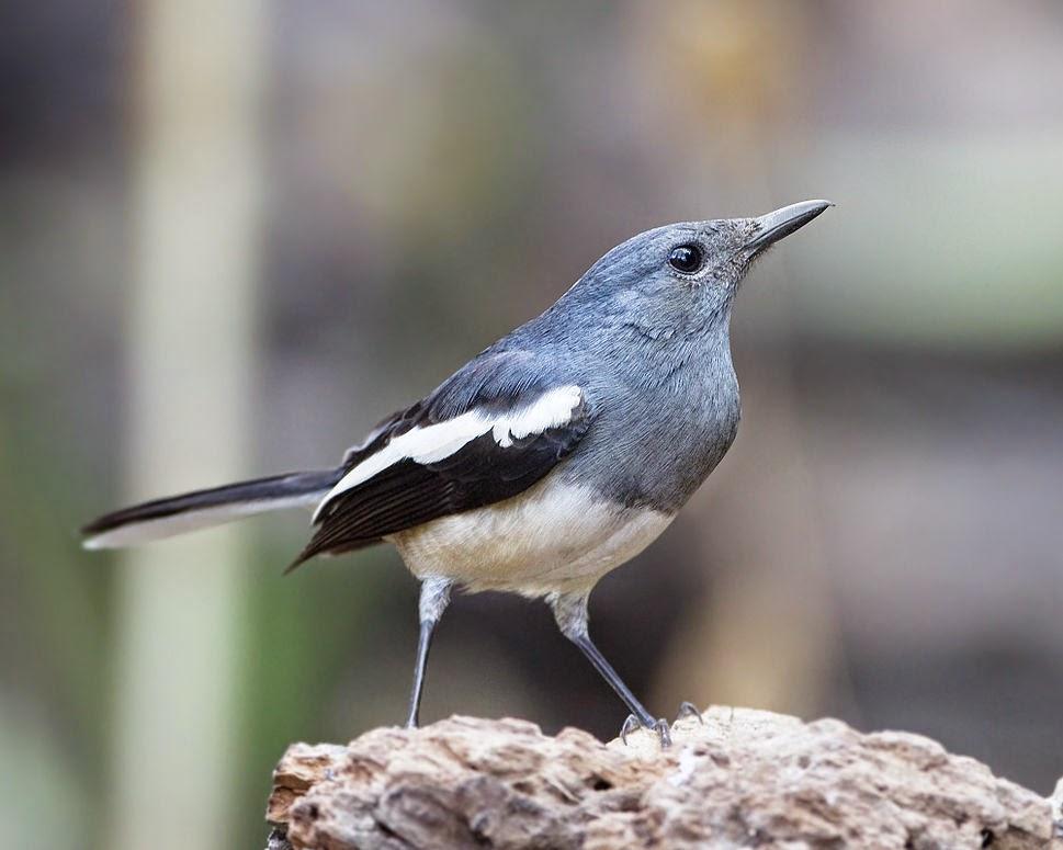 Foto Burung Kicau Jantan