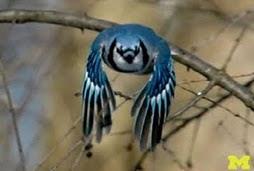 El pajaro azul