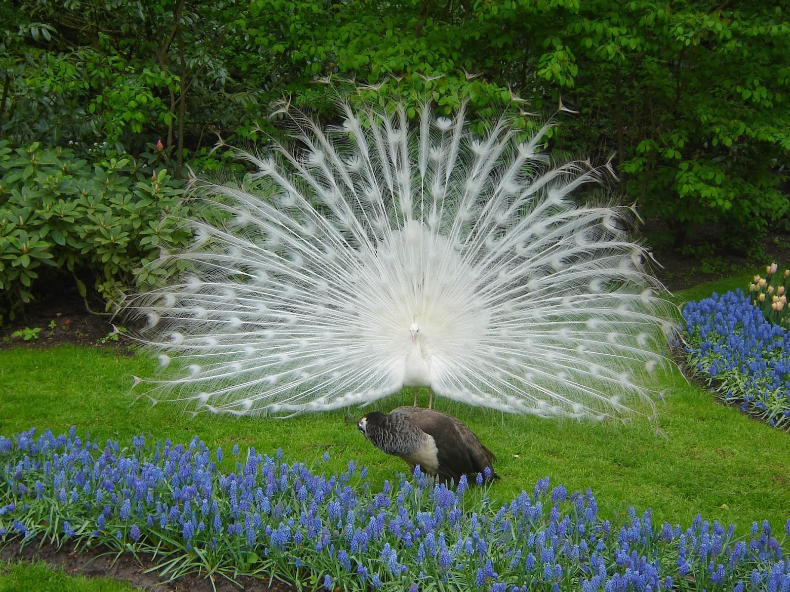 all new wallpaper white peacock wallpaper beautiful