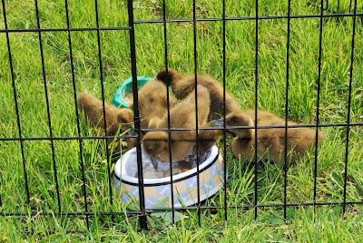 duckling cage