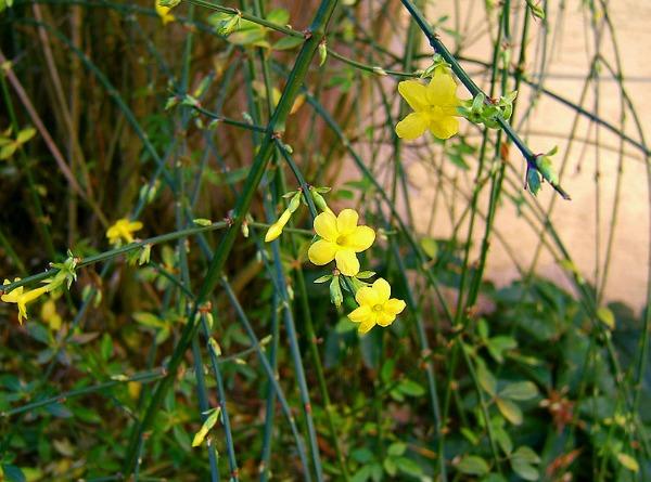 Plantas trepadoras para sombra guia de jardin - Plantas trepadoras para pergolas ...