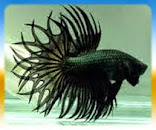 Betta King Crowntail
