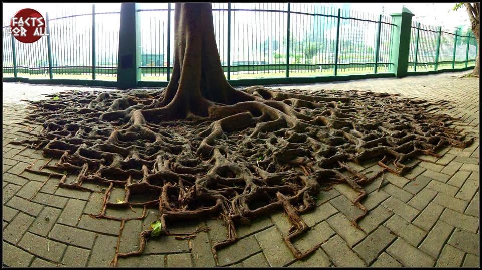 pattern, root, tree