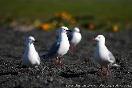 New Zealand's most-loved scavengers - seagulls on Pacific Beach, Napier photograph