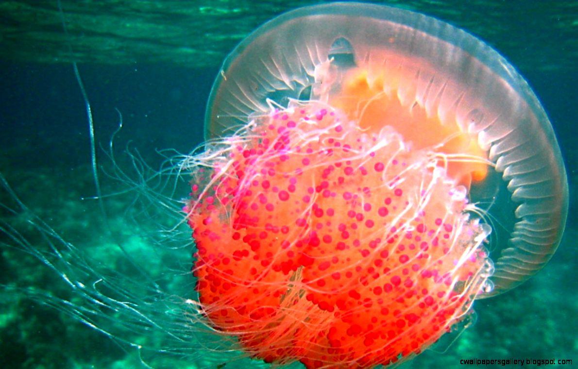 Jellyfish id 28814   BUZZERG