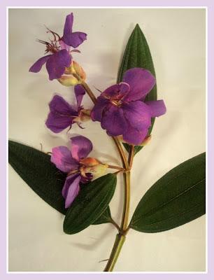 Galho com flor da quaresmeira (Tibouchina granulosa)