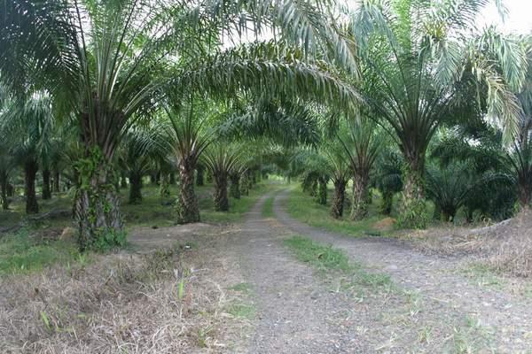 Perkebunan Sawit di Provinsi Jambi