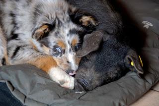 chien cochon dorment ensemble