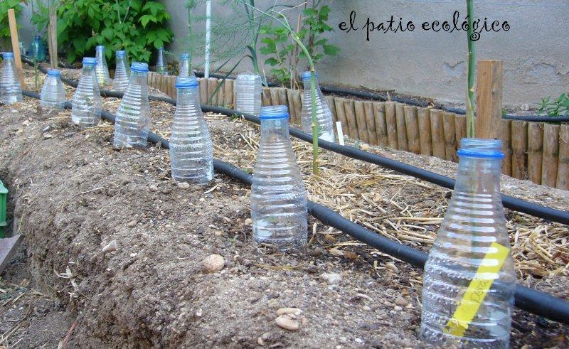 Protección de plántulas con botellas de agua, evitan ataque de hormigas negras (fuente el patio de mi casa)