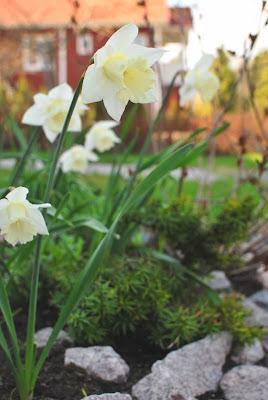 Muonamiehen mökki - Kotipihan kevätkukat