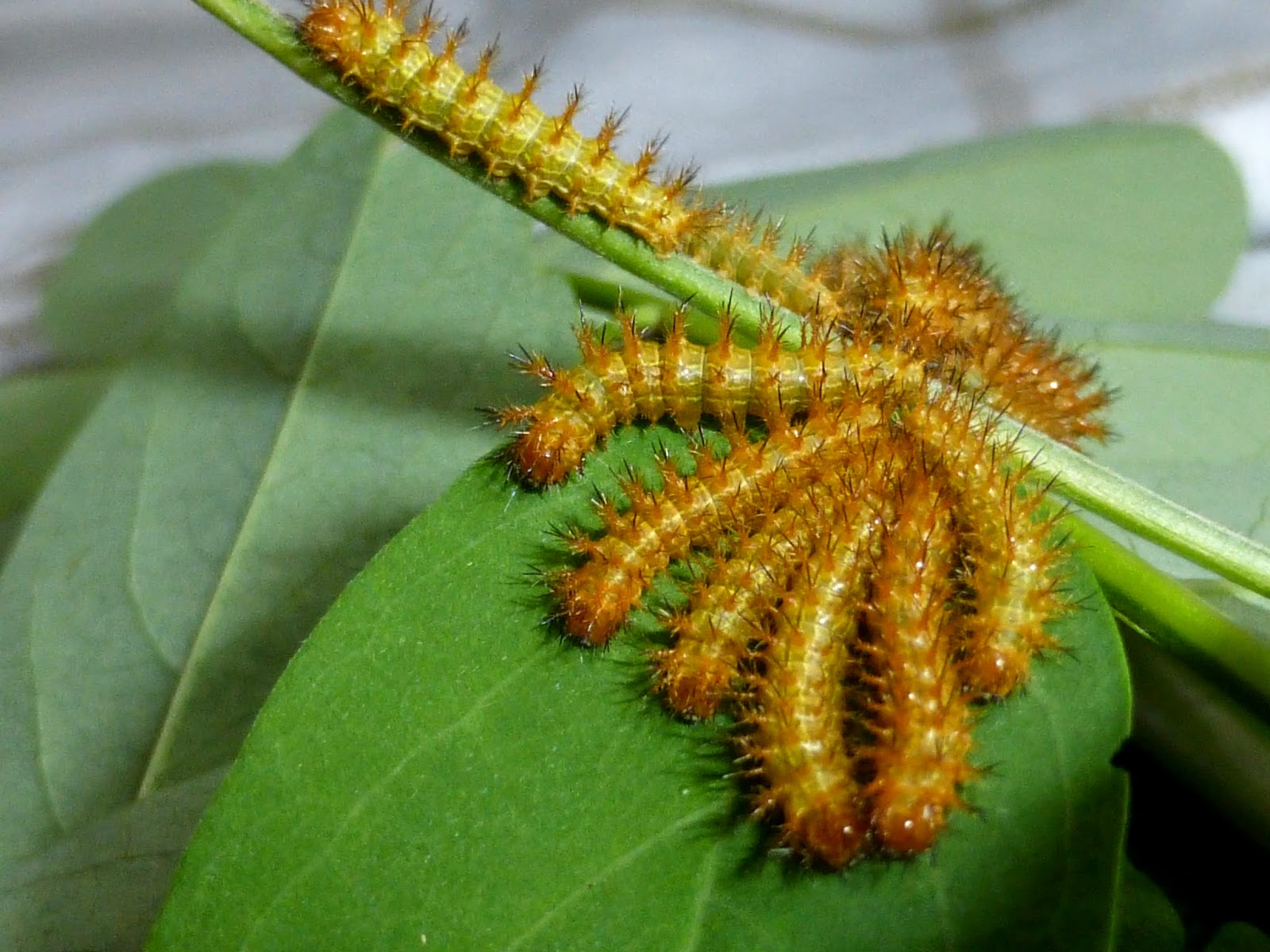 Automeris iris caterpillar