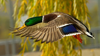 Bird Wildlife Duck HD Wallpaper